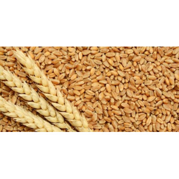 جنين القمح